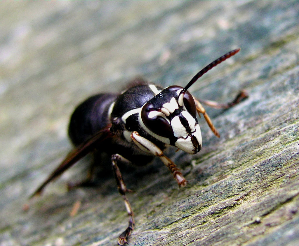 Bald Face Hornet