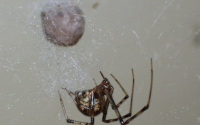 Common Spider