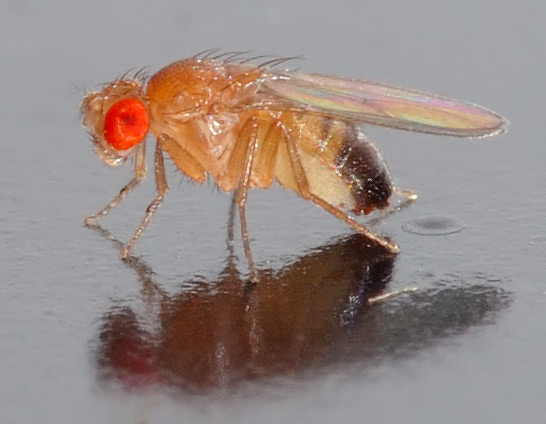Small Vinegar Fly